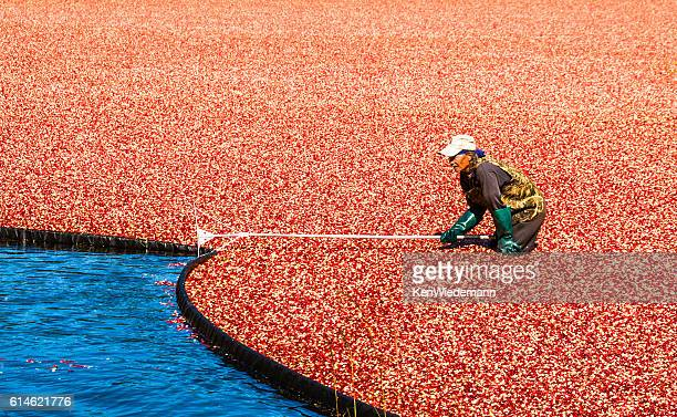 pulling the boom - cranberry harvest stock pictures, royalty-free photos & images