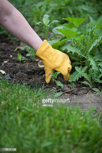 pulling the thistle - work glove stock pictures, royalty-free photos & images