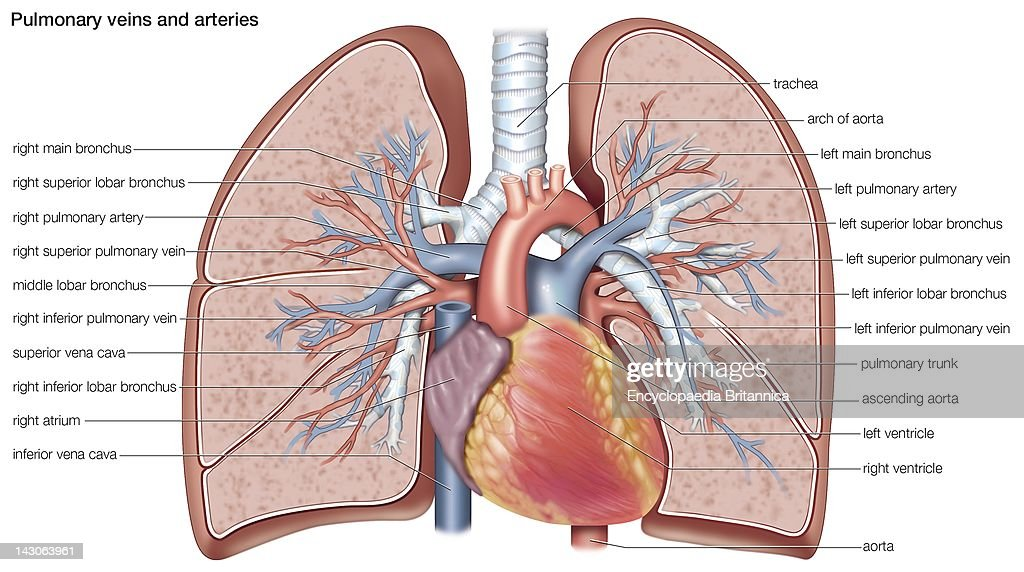 Pulmonary Veins And Arteries Pictures | Getty Images