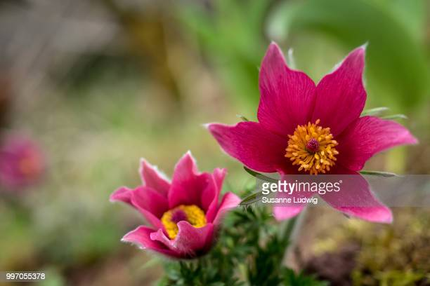 pulsatilla - susanne ludwig stock pictures, royalty-free photos & images