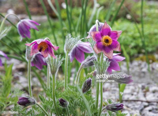pulsatilla spring time blooms - andrew dernie stock pictures, royalty-free photos & images