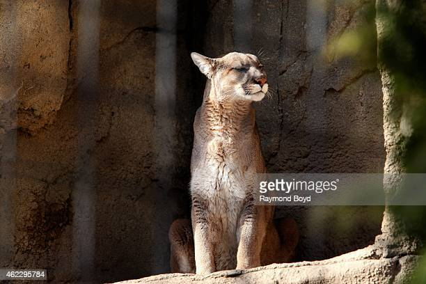 Puma at Lincoln Park Zoo in Chicago on January 19 2015 in Chicago Illinois