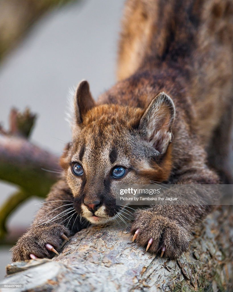 A female puma baby stretching on a tree trunk.