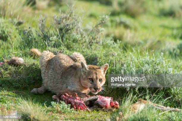 Puma cub about 6 months old feeding on a baby Guanaco kill in Torres del Paine National Park in Patagonia Chile