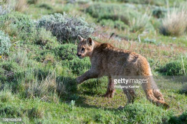 Puma cub about 6 months old in Torres del Paine National Park in Patagonia Chile