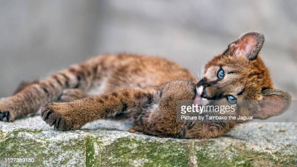 puma cub licking paw - feet lick stock pictures, royalty-free photos & images