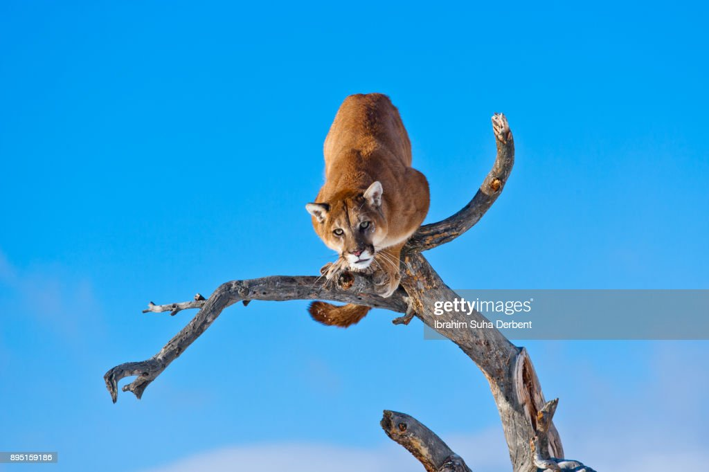 23596e07010 Puma is getting ready to jump into conclusion   Stock Photo