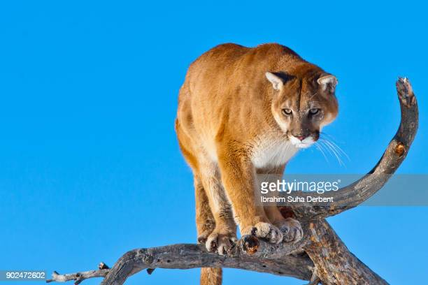 puma is looking cunningly on a branch - perching stock pictures, royalty-free photos & images