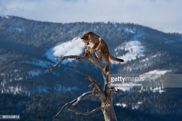 puma is looking down at the top of a tree - male animal stock pictures, royalty-free photos & images