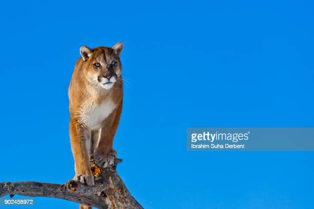 Puma is waiting for his hunt at the top of a tree