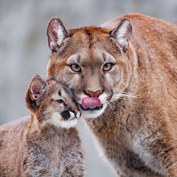 Puma mother with cub
