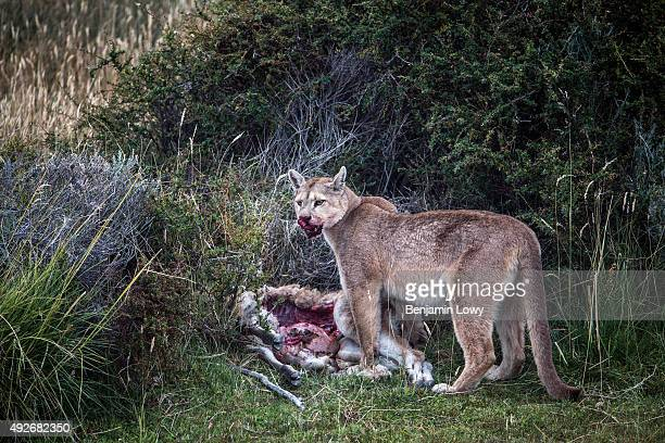 A puma nicknamed 'Mocho' after having killed a guanaco in Chile's Torres del Paine National Park March 10 2015
