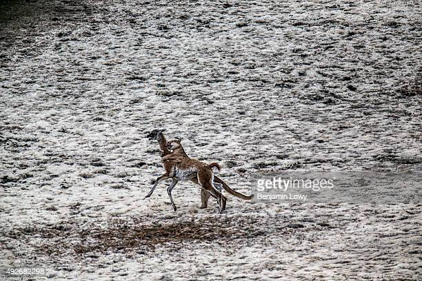 A puma nicknamed 'Mocho' attacks a guanaco in Chile's Torres del Paine National Park March 10 2015