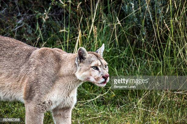 A puma nicknamed Mocho with a bloodied nose after having killed a guanaco in Chile's Torres del Paine National Park March 10 2015