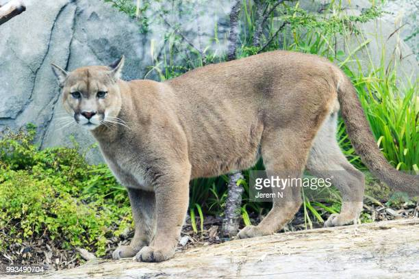 pumas - puma stock photos and pictures