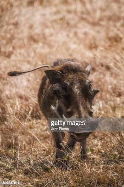 pumba (warthog) face - facocero foto e immagini stock