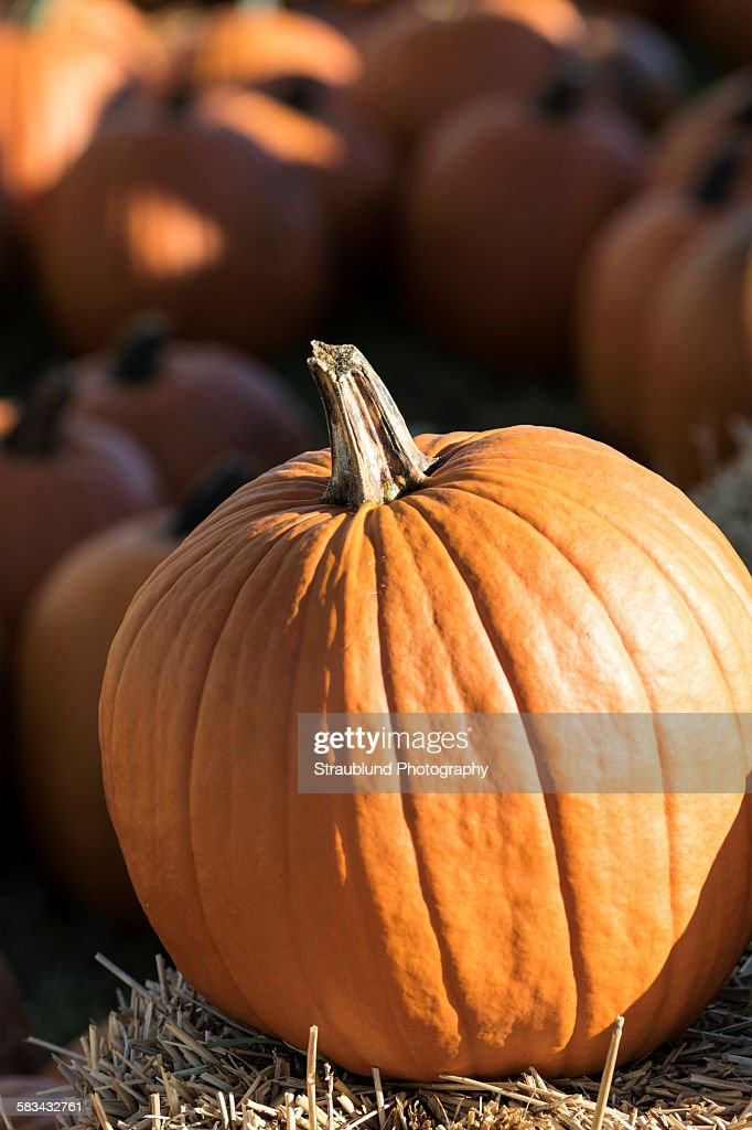 Pumpkin at the Pumpkin Patch : Stock Photo