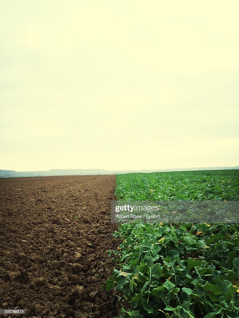 Pumpkin Crop And Ploughed In Agricultural Field : Foto stock