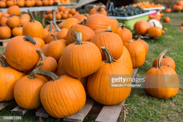 pumpkin display for halloween - pumpkin stock pictures, royalty-free photos & images