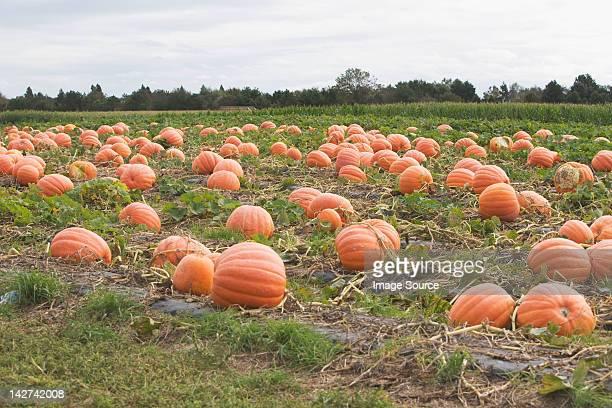 pumpkin field - pumpkin patch stock photos and pictures