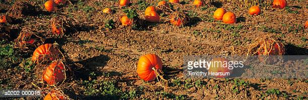 pumpkin field - timothy hearsum stock photos and pictures