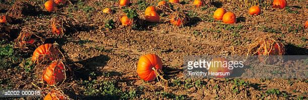 pumpkin field - timothy hearsum stockfoto's en -beelden