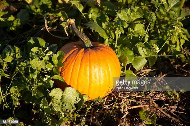 pumpkin growing in field - harvest icon stock pictures, royalty-free photos & images