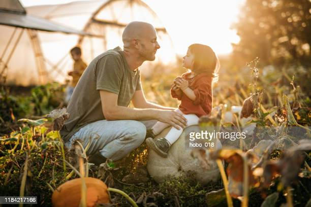 pumpkin harvest in autumn - fall harvest stock pictures, royalty-free photos & images