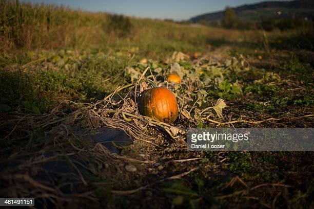 CONTENT] pumpkin in a field in autumn/fall kürbis in einem feld im herbst switzerland schweiz