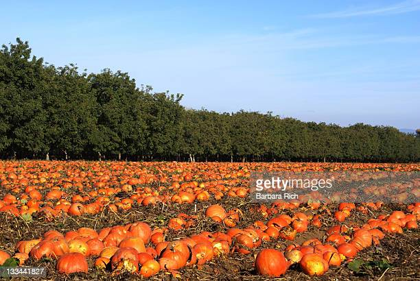 pumpkin patch for seed crop - pumpkin patch stock photos and pictures