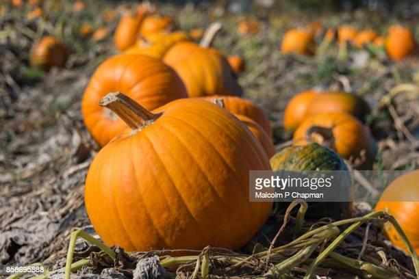 Pumpkin patch in field