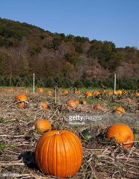 Pumpkin patch near Litchfield Connecticut