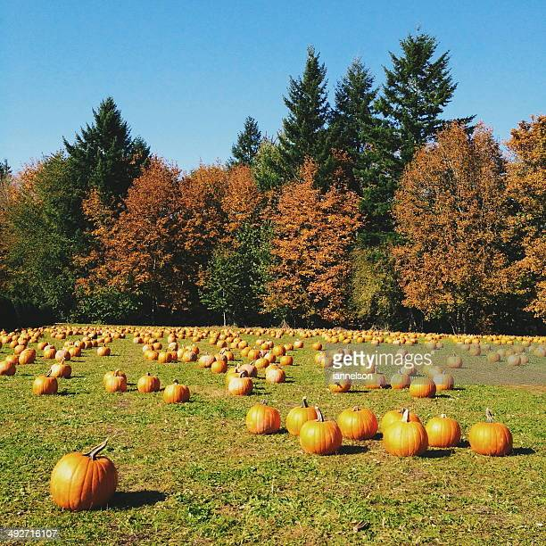 pumpkin patch, oregon, america, usa - pumpkin patch stock photos and pictures