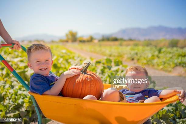 pumpkin patch - pumpkin harvest stock pictures, royalty-free photos & images