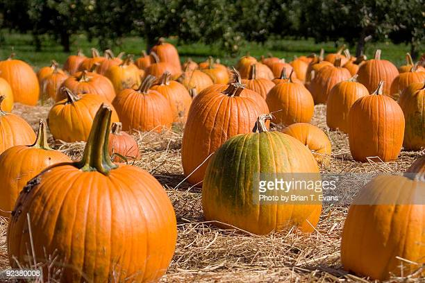 pumpkin patch - harvest festival stock pictures, royalty-free photos & images