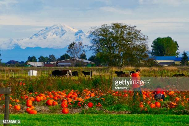 Pumpkin picking in the field with beautiful mountain Baker as backdrop in Autumn in Delta