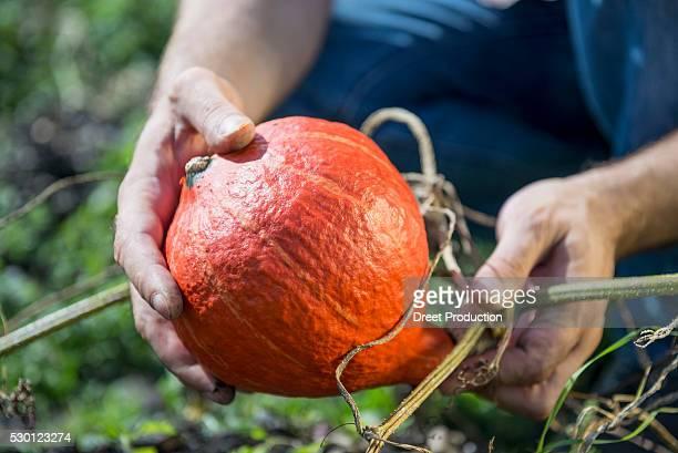 Pumpkin squash gourd man holding garden
