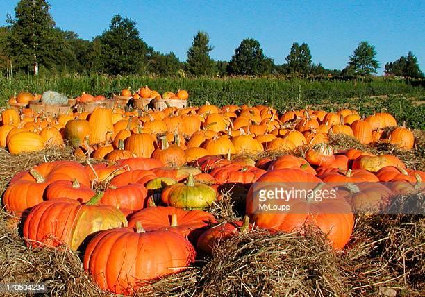 Pumpkins after the fall harvest