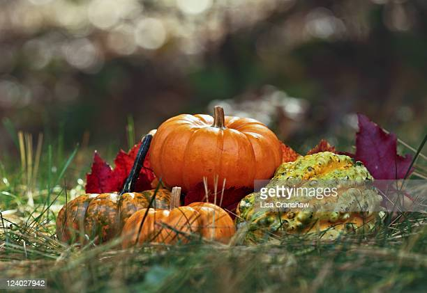 pumpkins and gourds - lisa cranshaw stock pictures, royalty-free photos & images