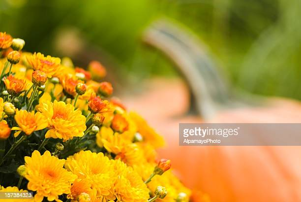 pumpkins y mums-iv - chrysanthemum fotografías e imágenes de stock