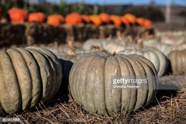 pumpkins at a fair in half moon bay, california - christina felschen stock photos and pictures