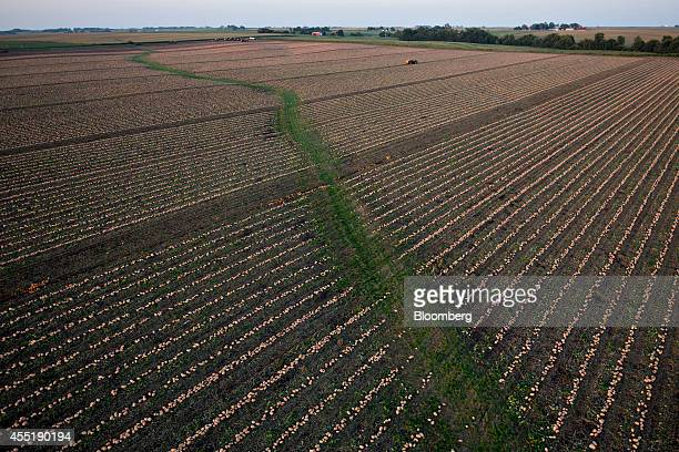 Pumpkins grown for Nestle USA Libby's Pumpkin sit in rows during harvest in this aerial photograph taken in Delavan Illinois US on Thursday Sept 4...