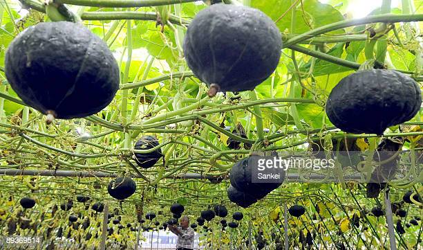 Pumpkins hang from stakes in a former vinyard during harvest season on July 27 2009 in Katsunuma Yamanashi Japan