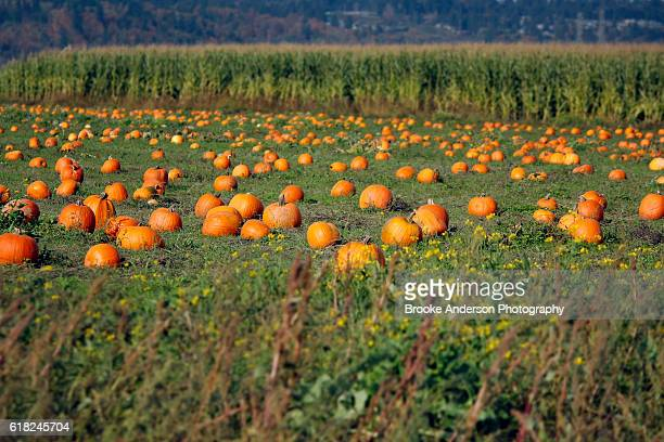 pumpkins in a field - pumpkin patch stock photos and pictures