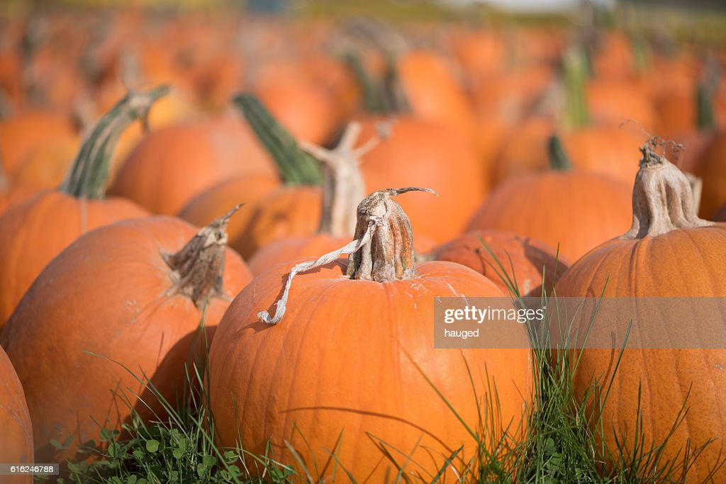 Pumpkins in the grass : Stock Photo