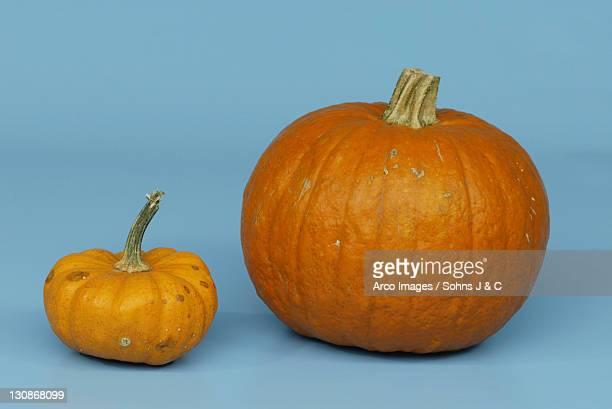 pumpkins 'moschus' and 'mandarin' / (cucurbita spec.) - moschus kürbis stock-fotos und bilder