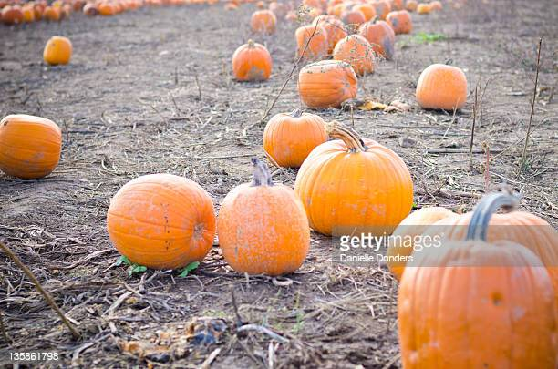"""pumpkins on farm - """"danielle donders"""" stock pictures, royalty-free photos & images"""