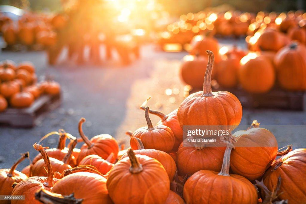 Pumpkins on pumpkin patch : Stockfoto