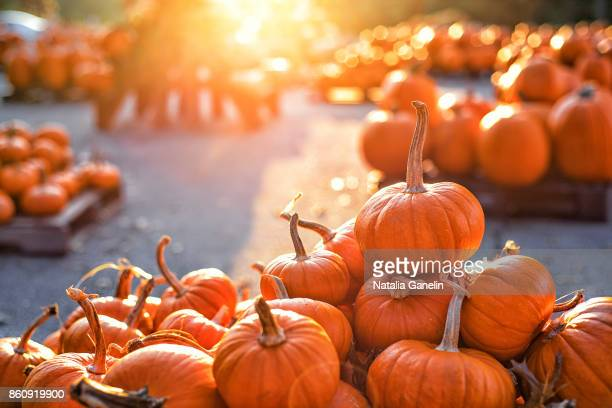 pumpkins on pumpkin patch - pumpkin stock pictures, royalty-free photos & images