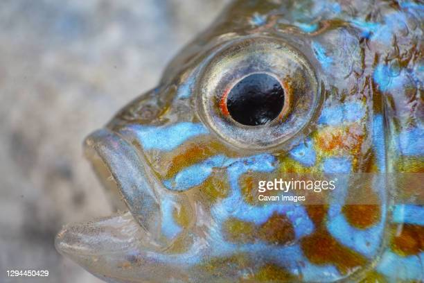 pumpkinseed fish close up on colorful scales, common sunfish macro - sunfish stock pictures, royalty-free photos & images